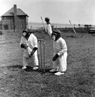 Monkeys-playing-Cricket-MirrorPix-87456