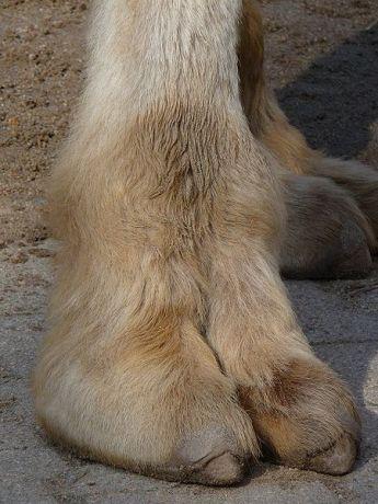 camel-foot