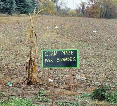 blondes corn maze