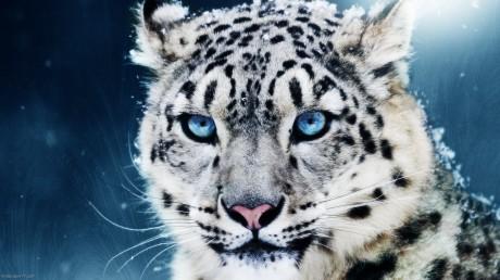 Snow-Leopard-leopards-1600x900