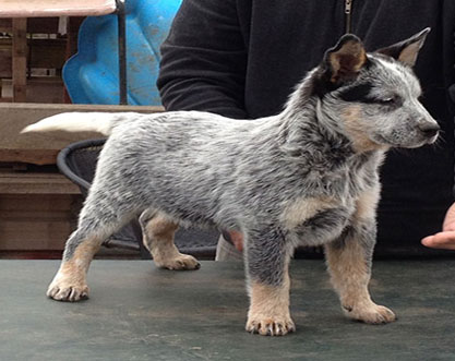 australian-cattle-dog-puppy