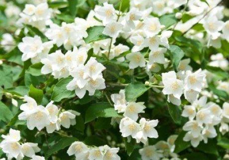 jasmine-flower-photo-2015
