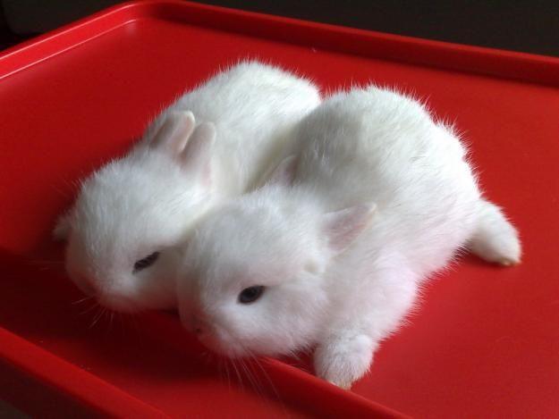 Netherland Dwarf Bunnies on a Tray