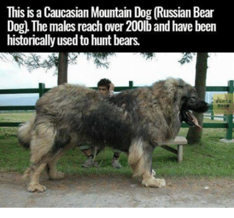 this-is-a-caucasian-mountain-dog-russian-bear-og-the-14952553