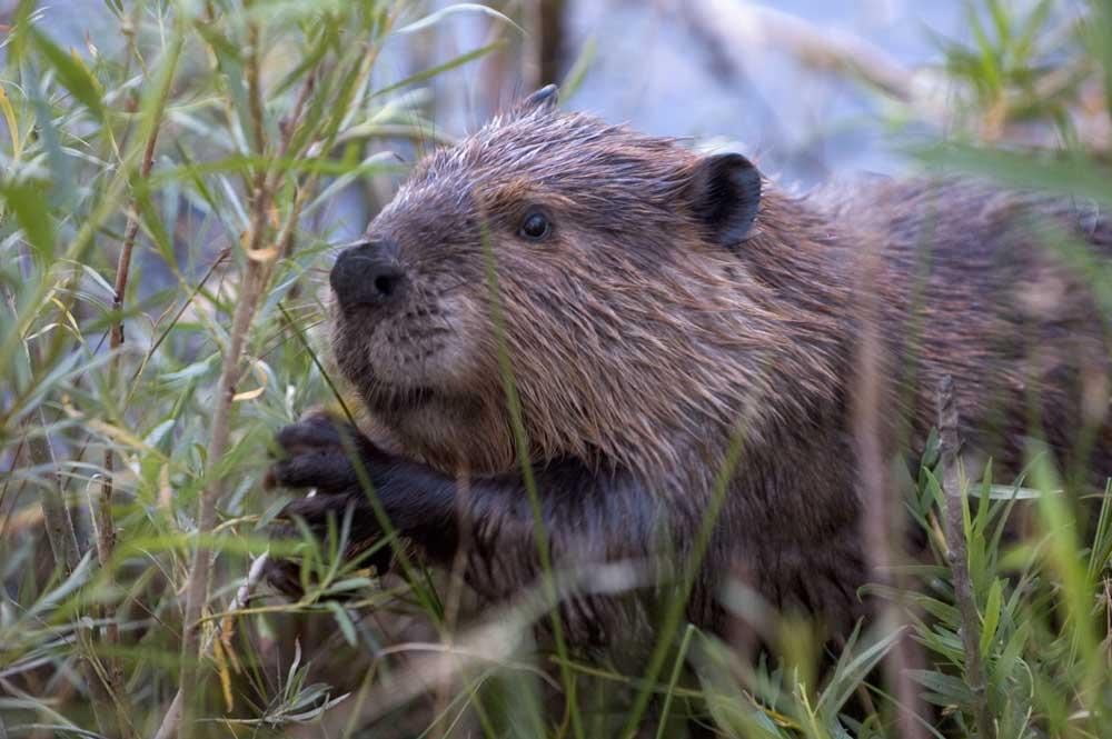 beaver-szmurlo