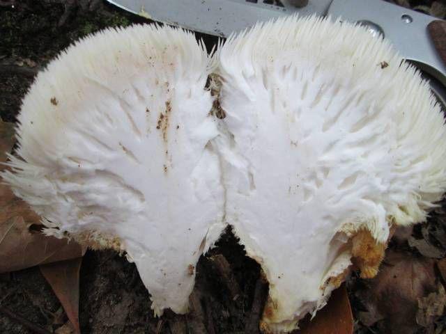 Half-cut-Lions-mane-mushroom.png