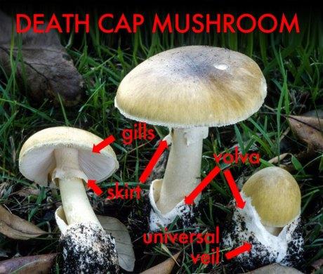 Death-Cap-Mushroom-Guide-889x755.jpg