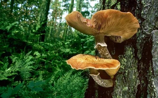 honey-fungus_2704755b.jpg