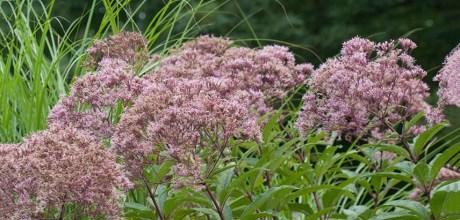 costa-farms-joe-pye-weed-perennial-flower