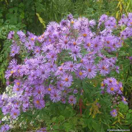 new-enland-aster