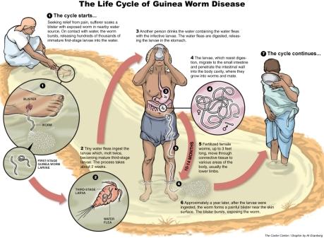 guinea-worm-life-cycle.